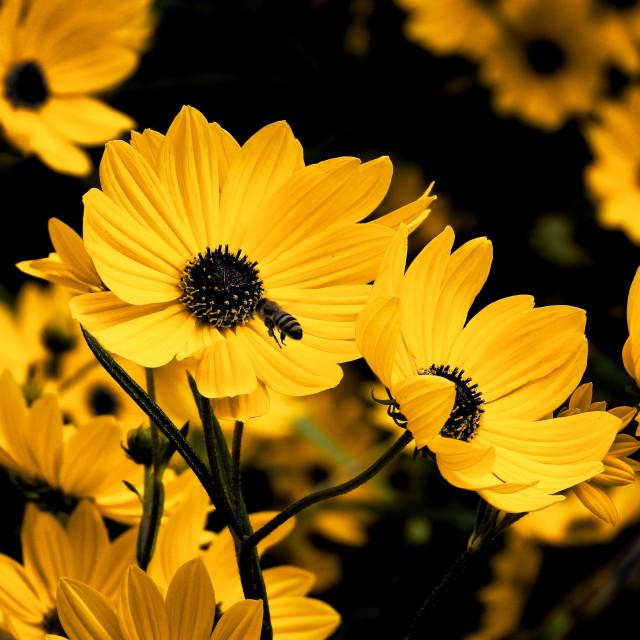 """""""Honey Bee among Yellow Garden Flowers"""" stock image"""