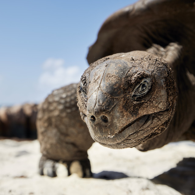 """""""Close-up view of giant tortoise on beach"""" stock image"""