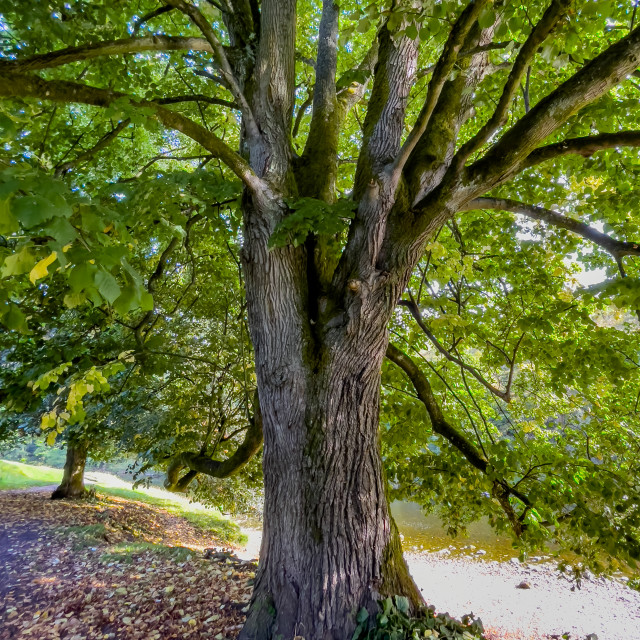 """""""Mature Tree in Leaf next to River Wharfe."""" stock image"""