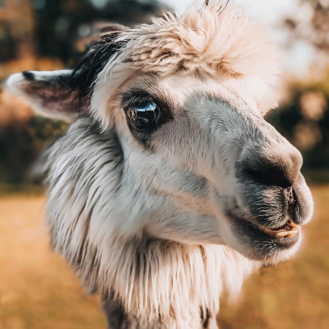 """""""Theo the Alpaca"""" stock image"""