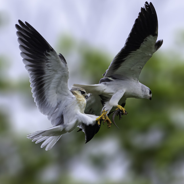 """""""A pair of black wing kites passing food"""" stock image"""