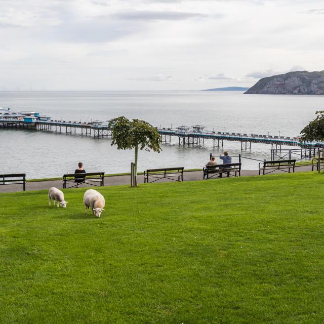 """Sheep in front of Llandudno Pier"" stock image"