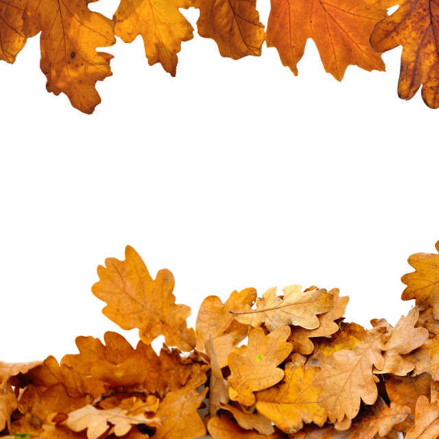 """""""heap of dried oak leaves in autumn in border down on white background"""" stock image"""