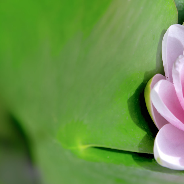 """""""closeup on beautiful pink waterlily blooming in leaf"""" stock image"""
