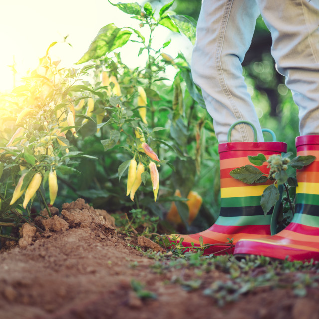 """""""Farmer girl with colorful rubber boots, green pepper and chilli"""" stock image"""