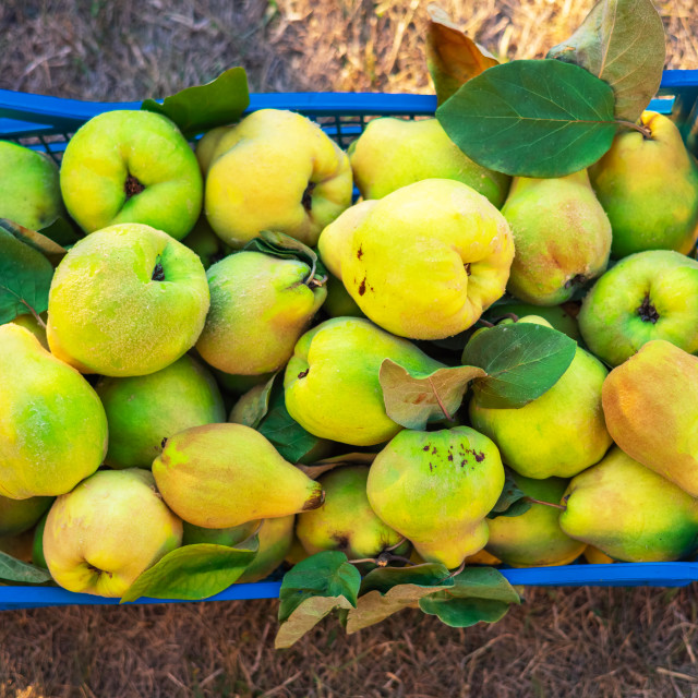 """""""A plastic box of fresh and fragrant quince in the grass."""" stock image"""