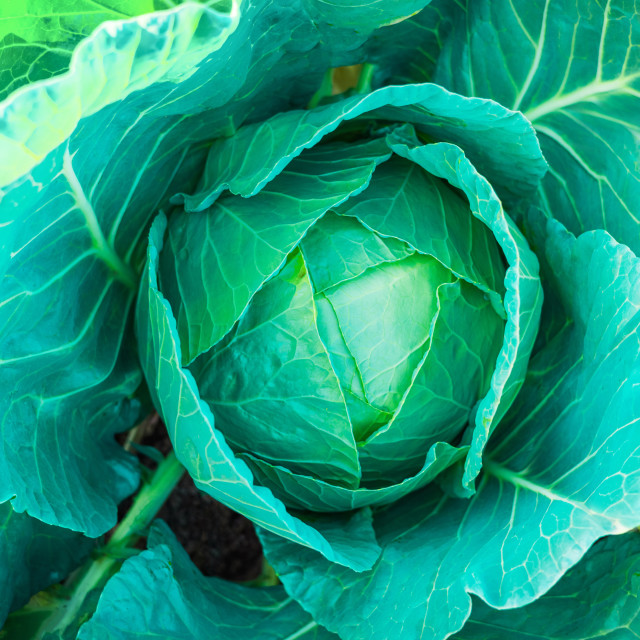 """""""Fresh green cabbage in the garden"""" stock image"""