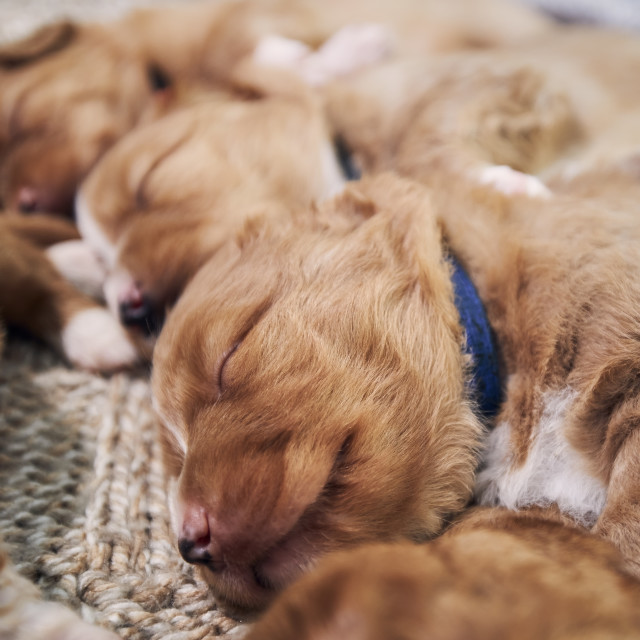 """""""Cute dogs sleeping on blanket at home"""" stock image"""