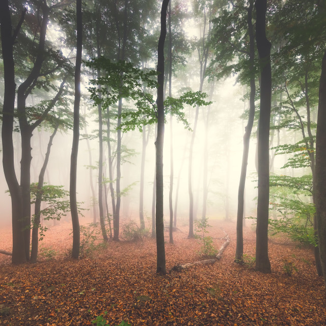 """""""Foggy mystic forest. Trees in autumn woodland in a fog."""" stock image"""