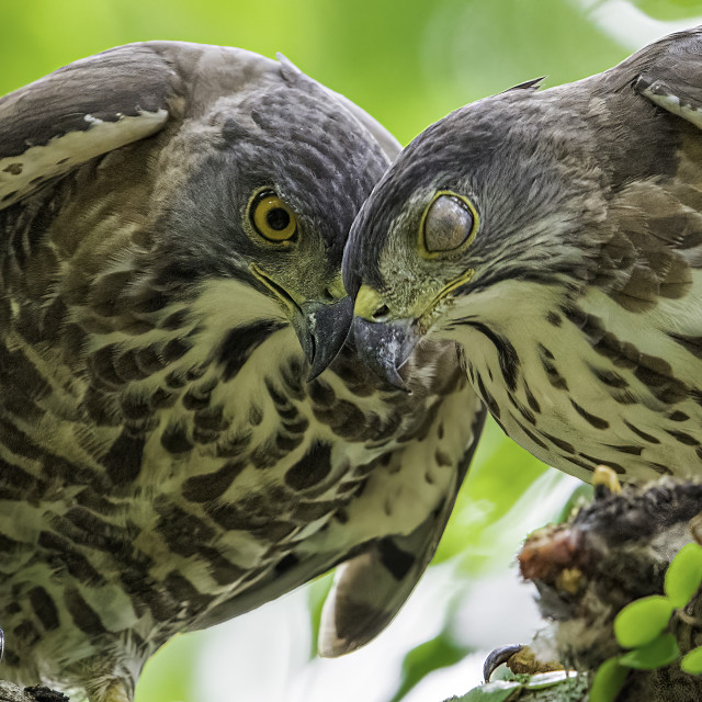 """""""A pair of crested goshawk sharing food"""" stock image"""
