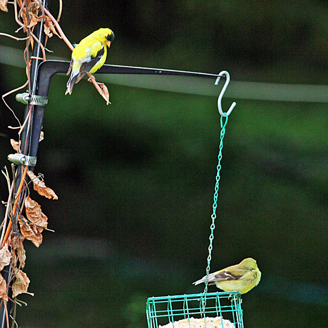 """""""gold finch couple"""" stock image"""