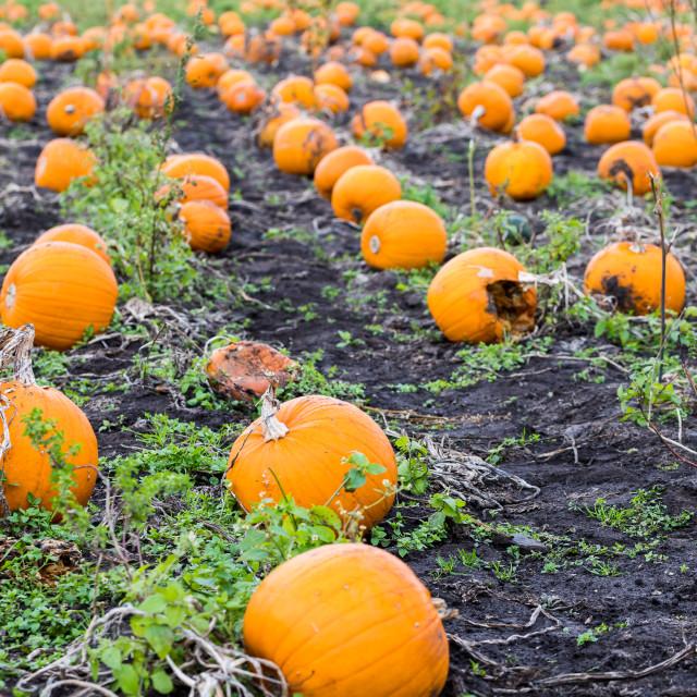 """""""Row upon row of pumpkins"""" stock image"""