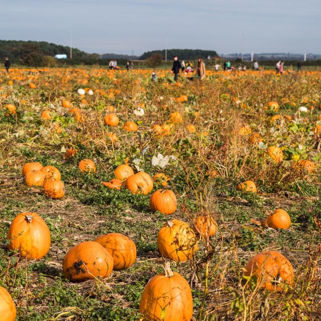 """Pumpkin picking before halloween"" stock image"