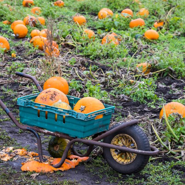 """Wheel barrow full of pumpkins"" stock image"