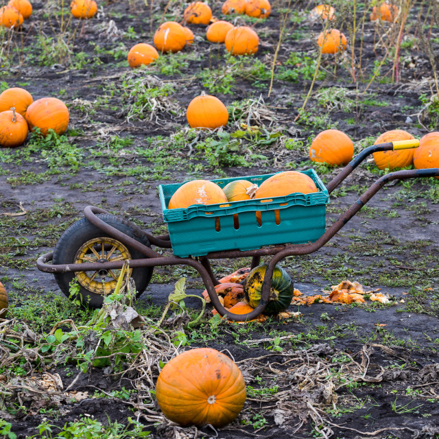 """""""Collecting pumpkins in a wheel barrow"""" stock image"""