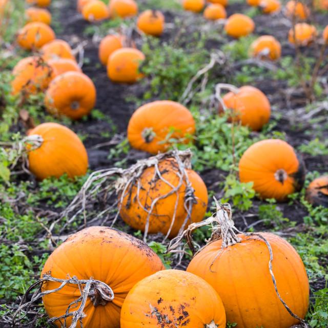 """""""Portrait crop of a pumpkin field"""" stock image"""