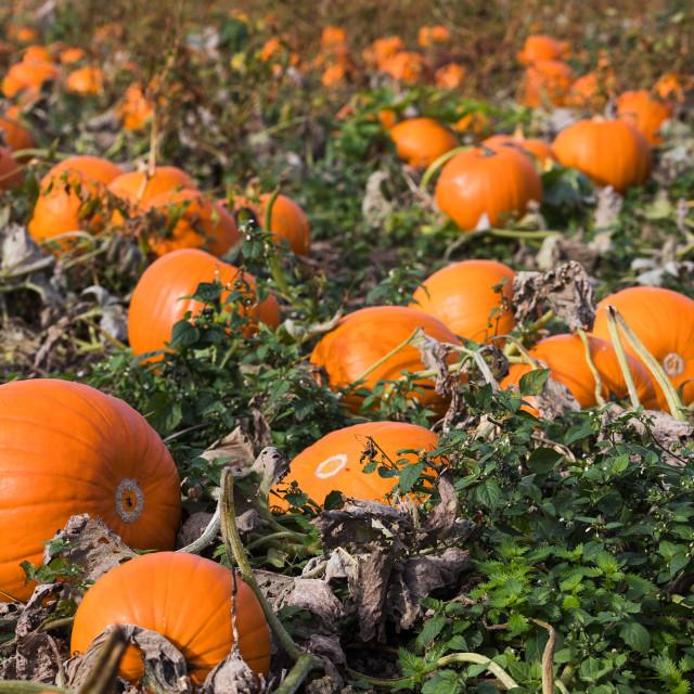 """Pumpkin field close up"" stock image"