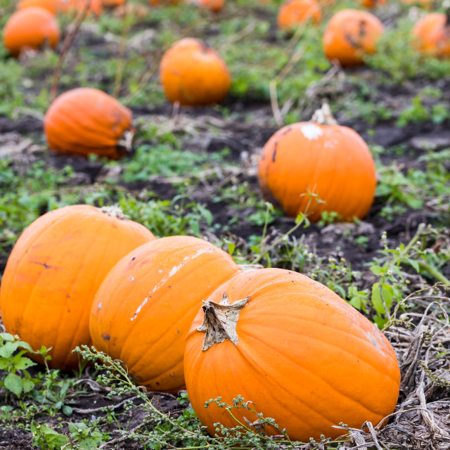 """""""Pumpkins ready for picking"""" stock image"""