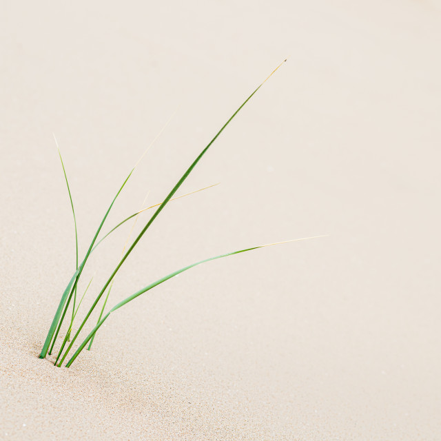 """""""Young marram grass next to Formby beach"""" stock image"""