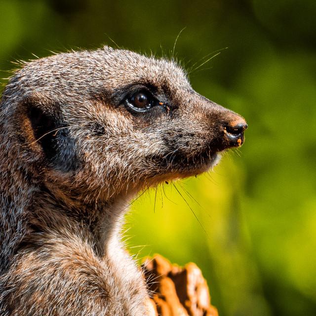"""""""Meerkat, Colchester Zoo."""" stock image"""