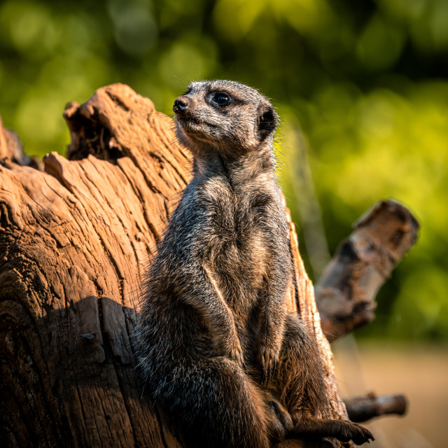 """""""Meerkat enjoying the sunset from Colchester Zoo."""" stock image"""