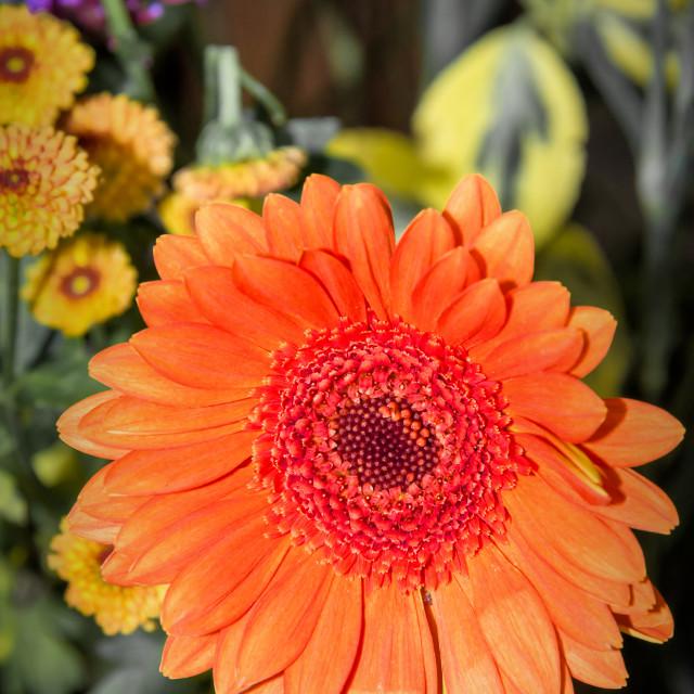 """Orange Gerbera"" stock image"