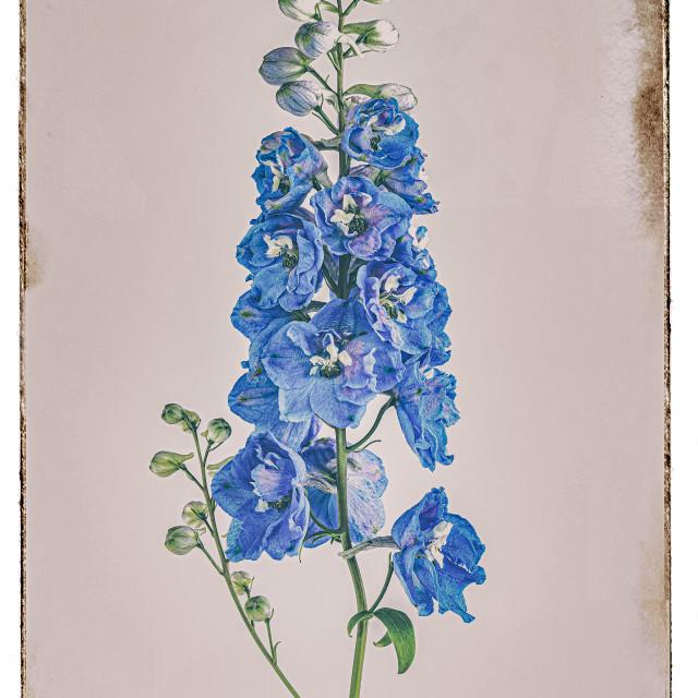 """DELPHINIUM 'MAGIC FOUNTAIN SKY BLUE' (CANDLE LARKSPUR)"" stock image"