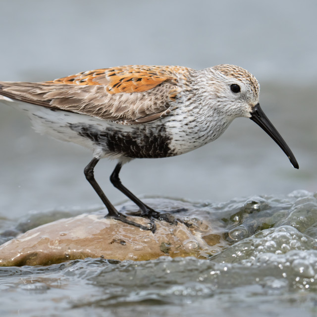 """""""Dunlin Standing On Rock Searching For A Meal"""" stock image"""