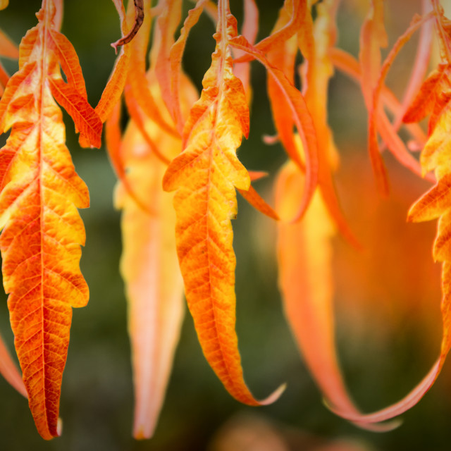 """""""Autumnal Leaves"""" stock image"""