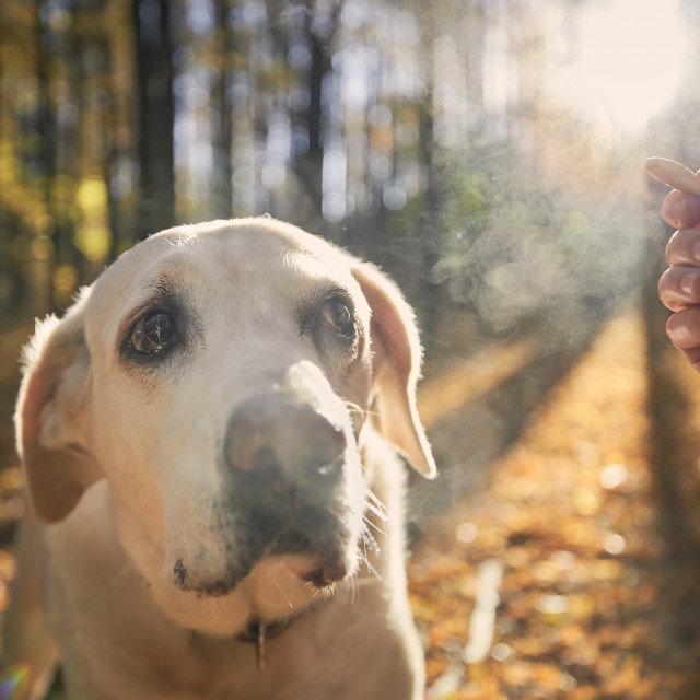"""""""Man with old dog autumn forest"""" stock image"""