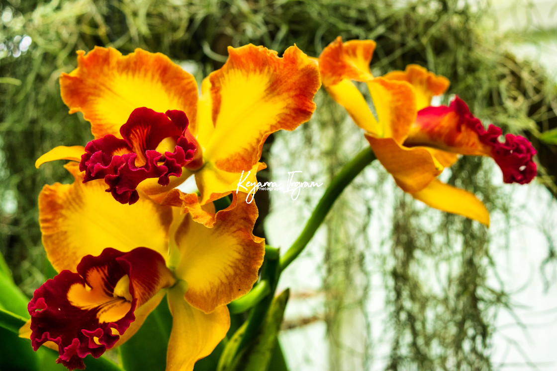 """""""Orchids"""" stock image"""