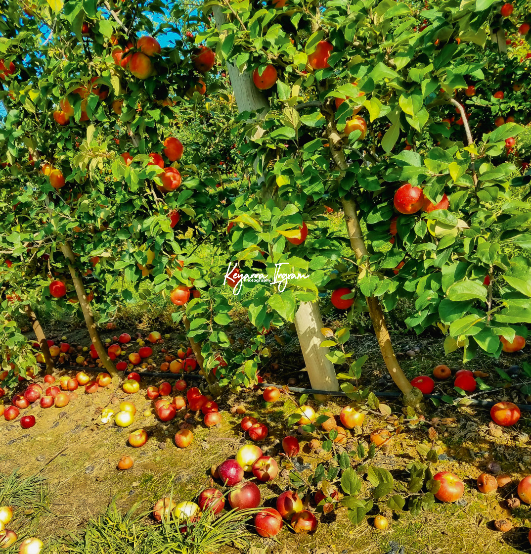"""Falling Apples"" stock image"