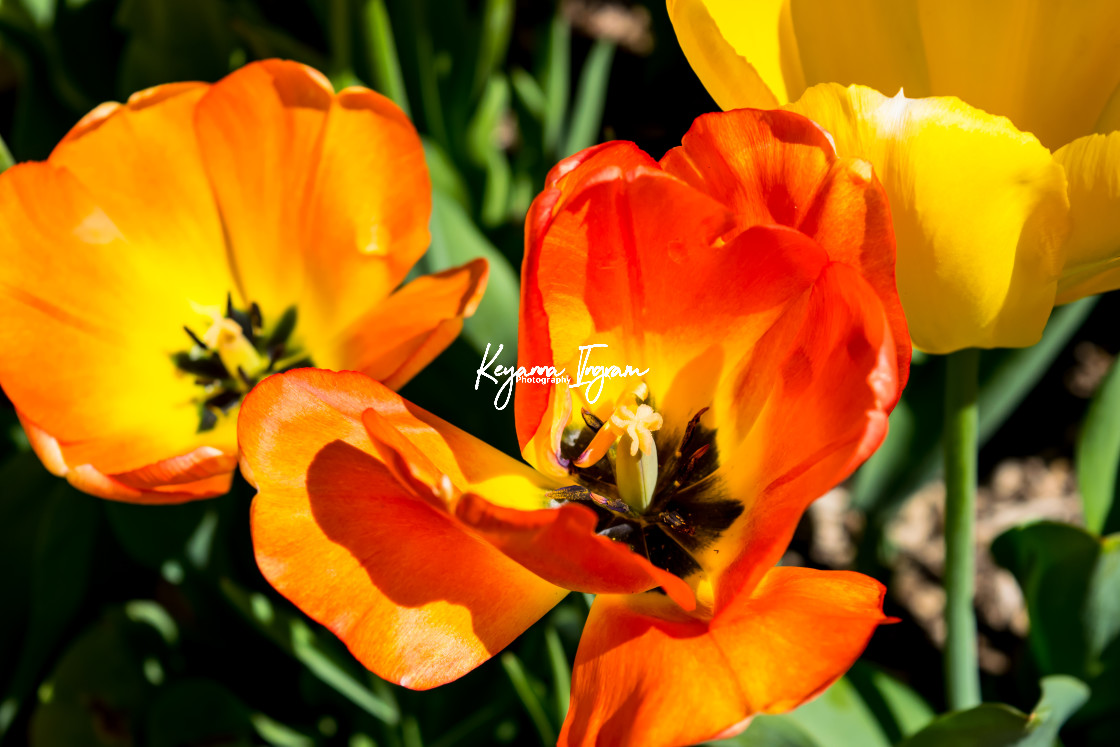 """""""Blooming Tulips"""" stock image"""