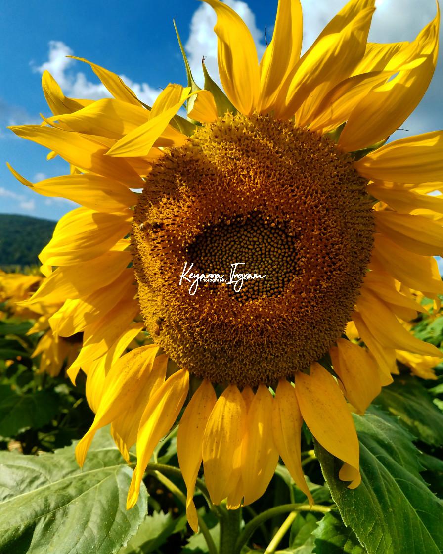 """""""Bloomed Sunflower"""" stock image"""