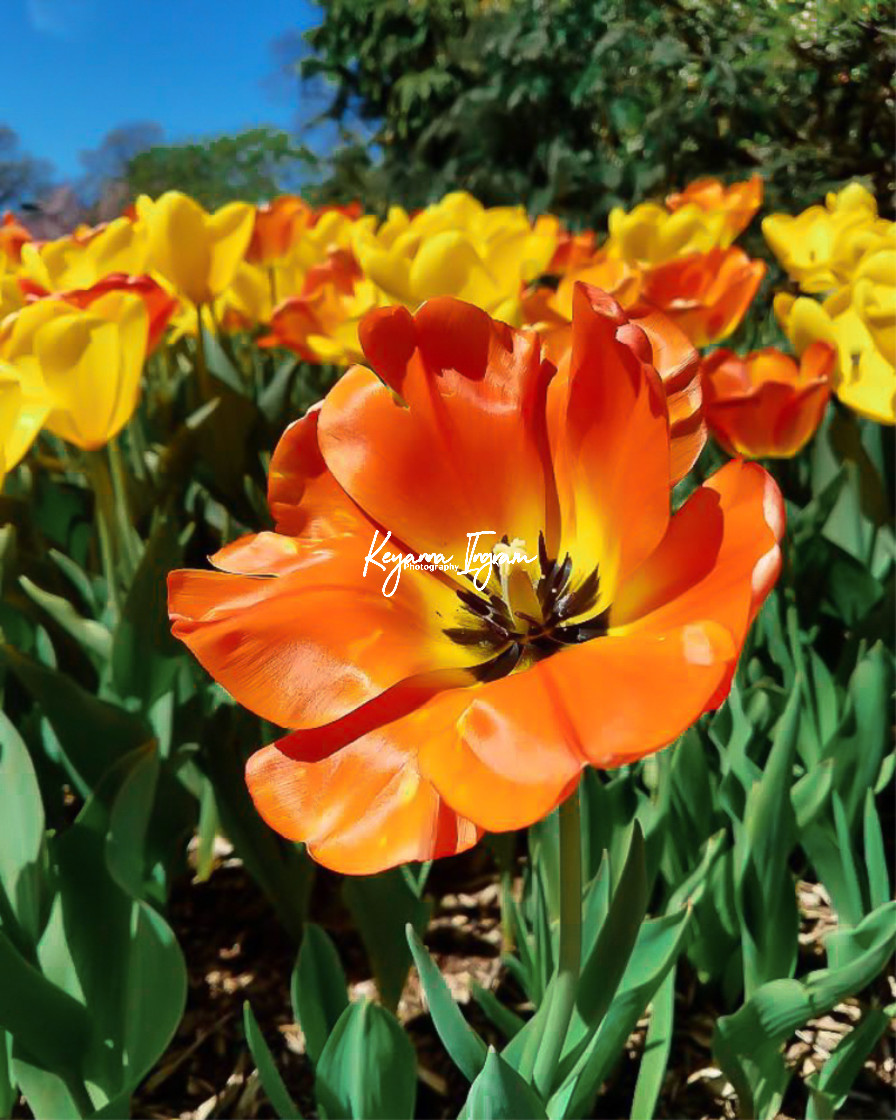 """""""Sprouting Bold Tulip"""" stock image"""