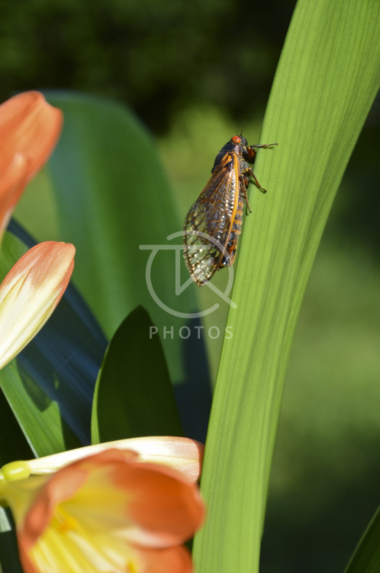 """Cicada on Clivia leaf 2"" stock image"