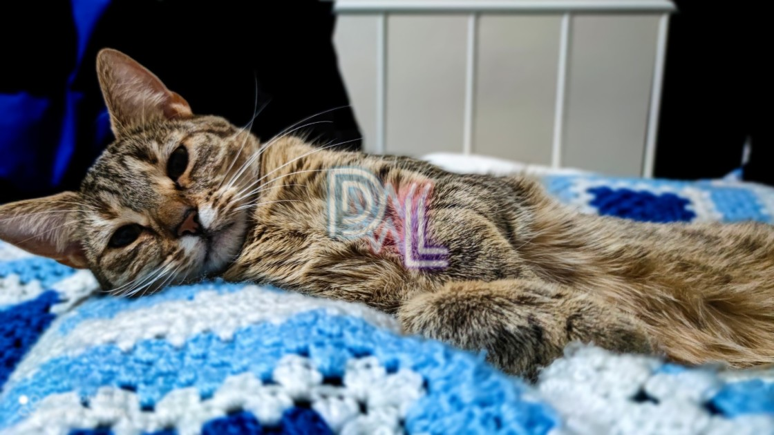 """Donna - Tabby cat"" stock image"