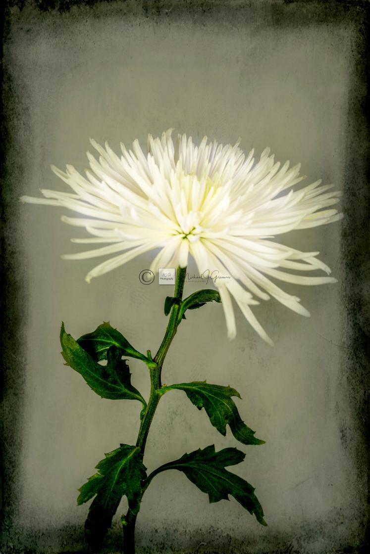 """""""White Chrysanthemums"""" stock image"""