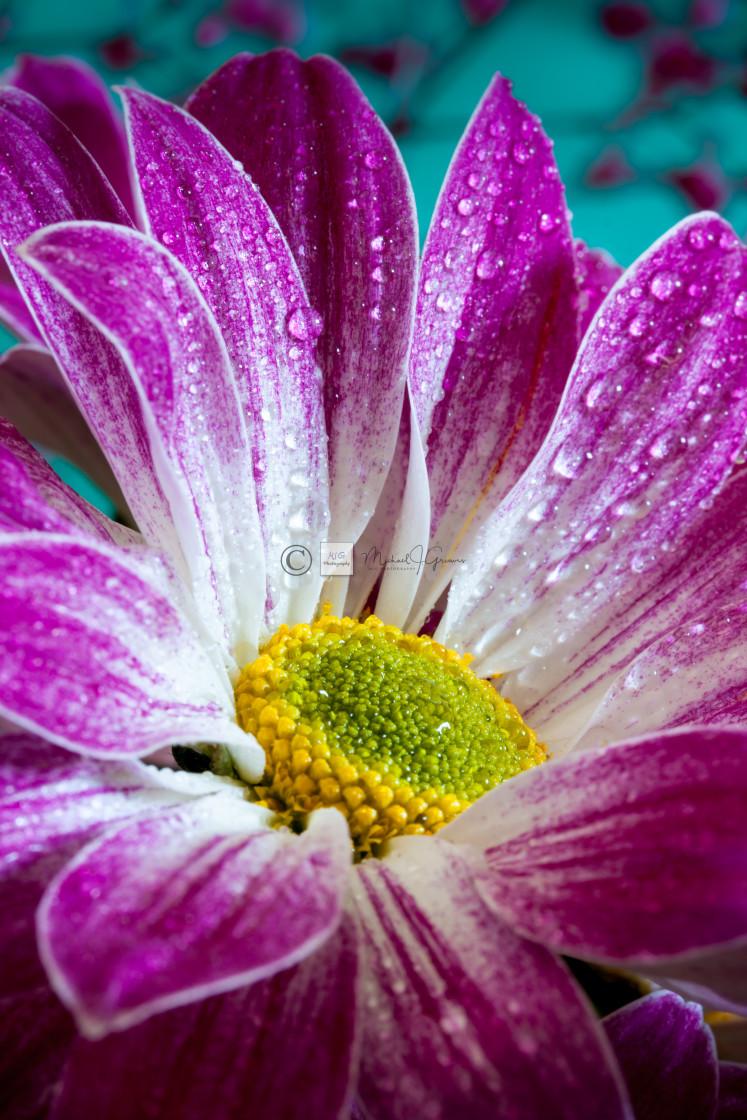 """Chrysanthemum_002"" stock image"