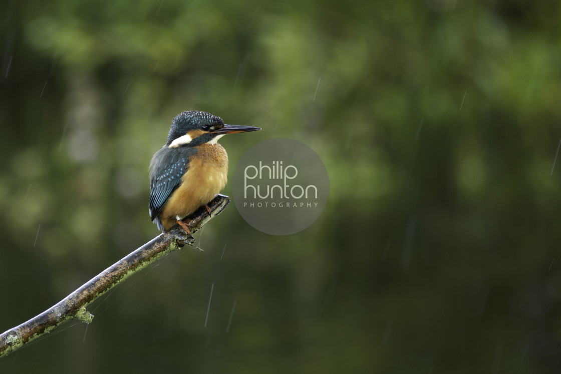 """""""A Kingfisher perched on a branch in the rain"""" stock image"""