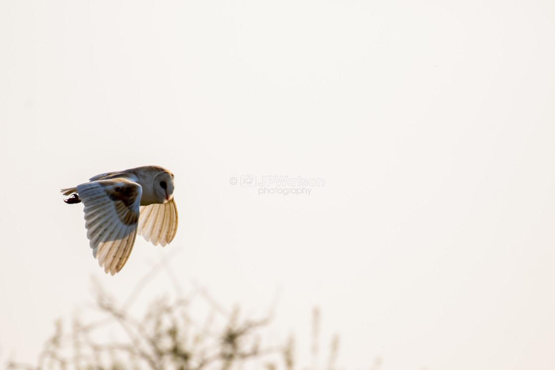 """Barn Owl In the early morning Sun"" stock image"