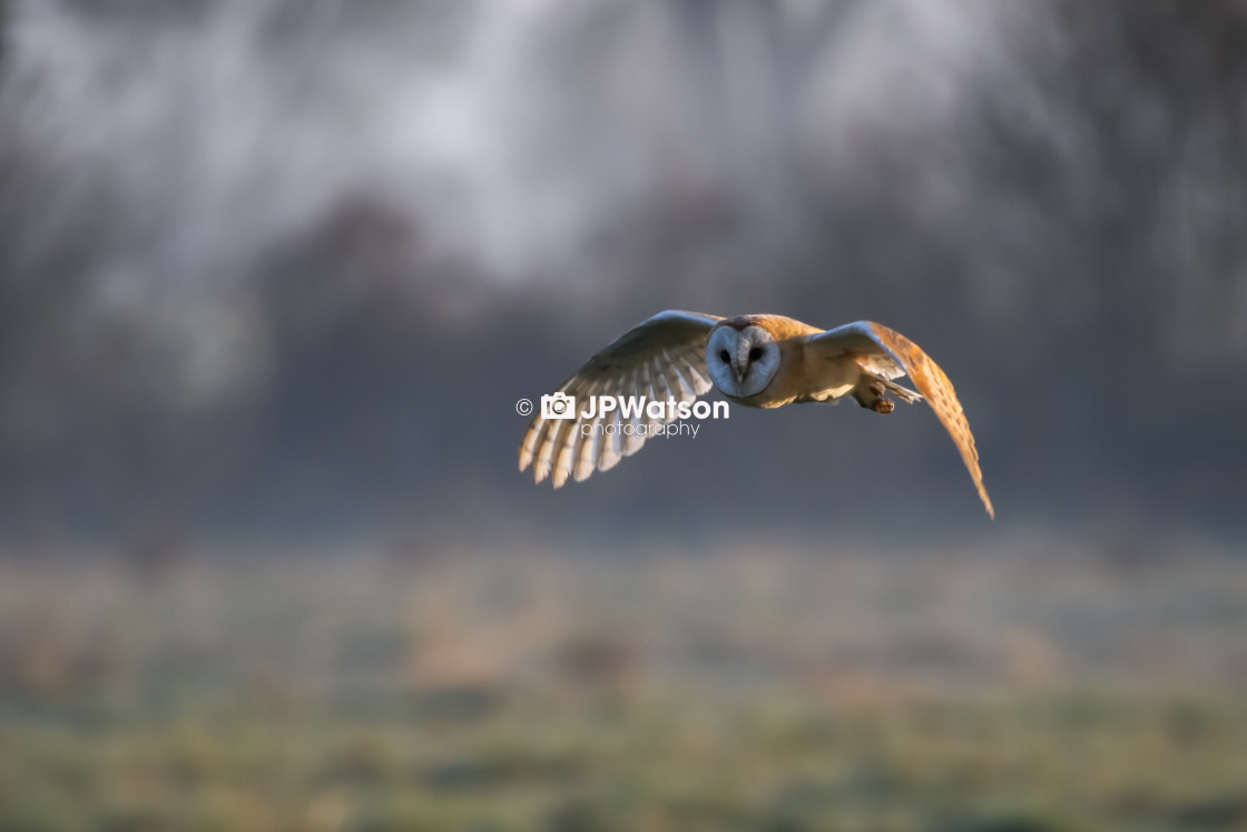 """""""Barn Owl On a frosty Morning"""" stock image"""