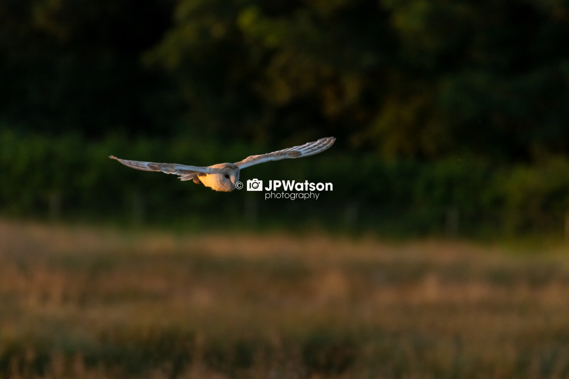 """Sunlit Barn Owl"" stock image"