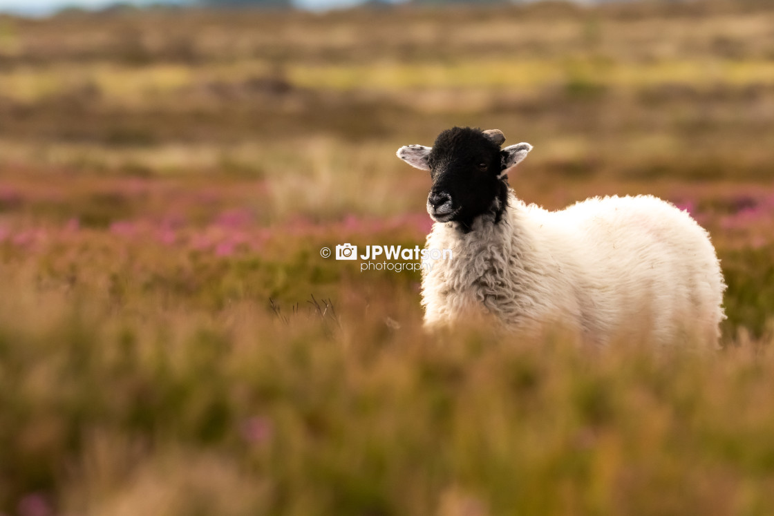 """Hiding Sheep"" stock image"