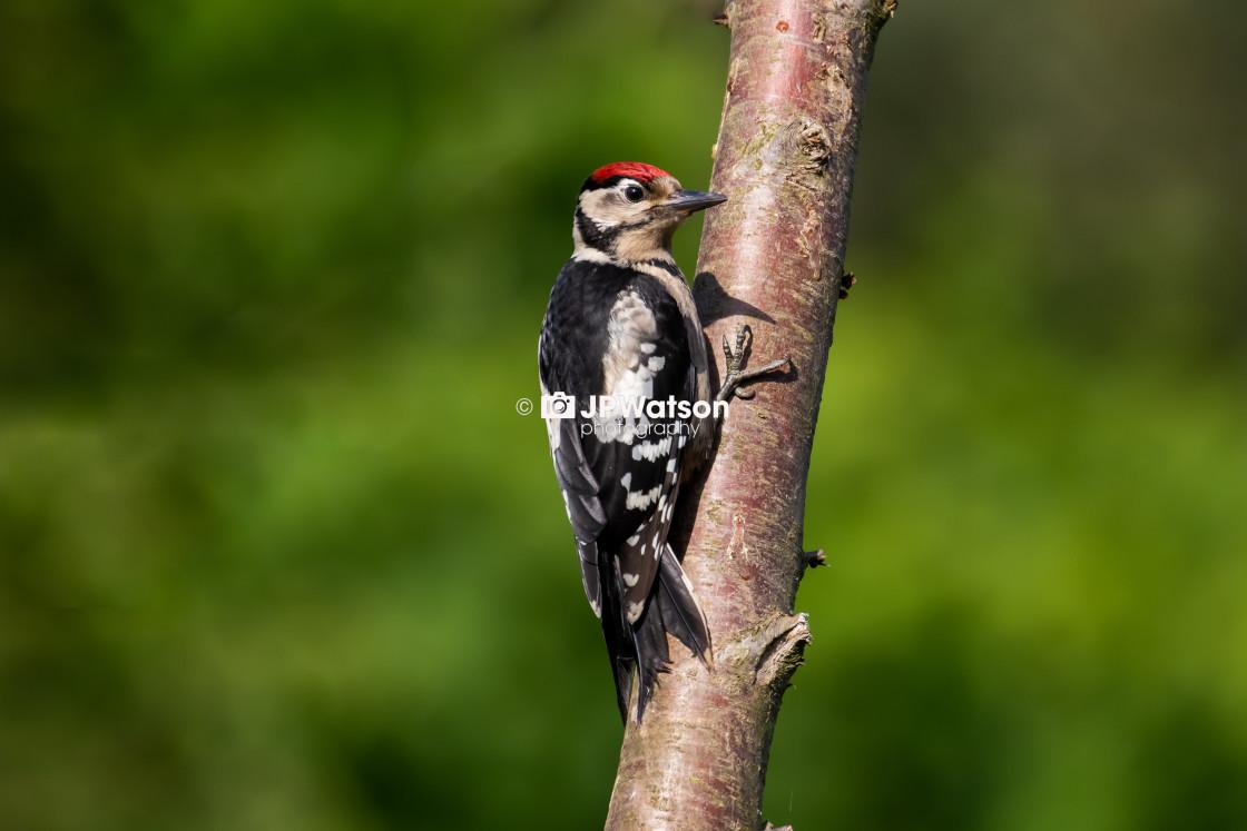 """Juvenile woodpecker"" stock image"