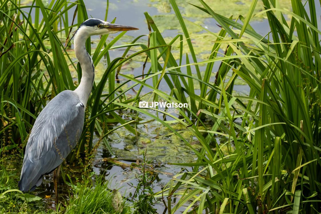 """Hunting heron"" stock image"