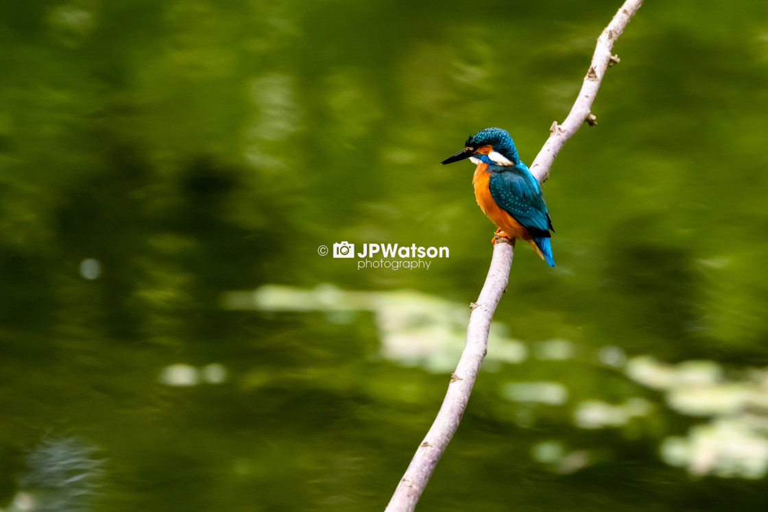"""Resting Kingfisher"" stock image"
