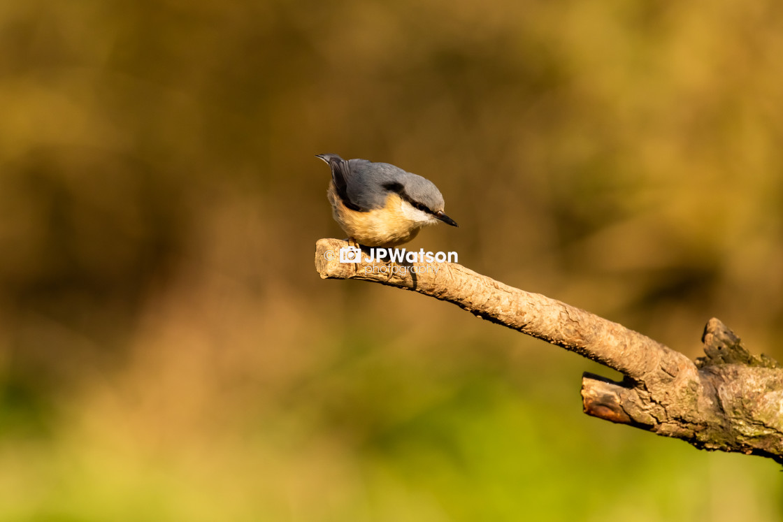 """""""Sunlit Nuthatch"""" stock image"""