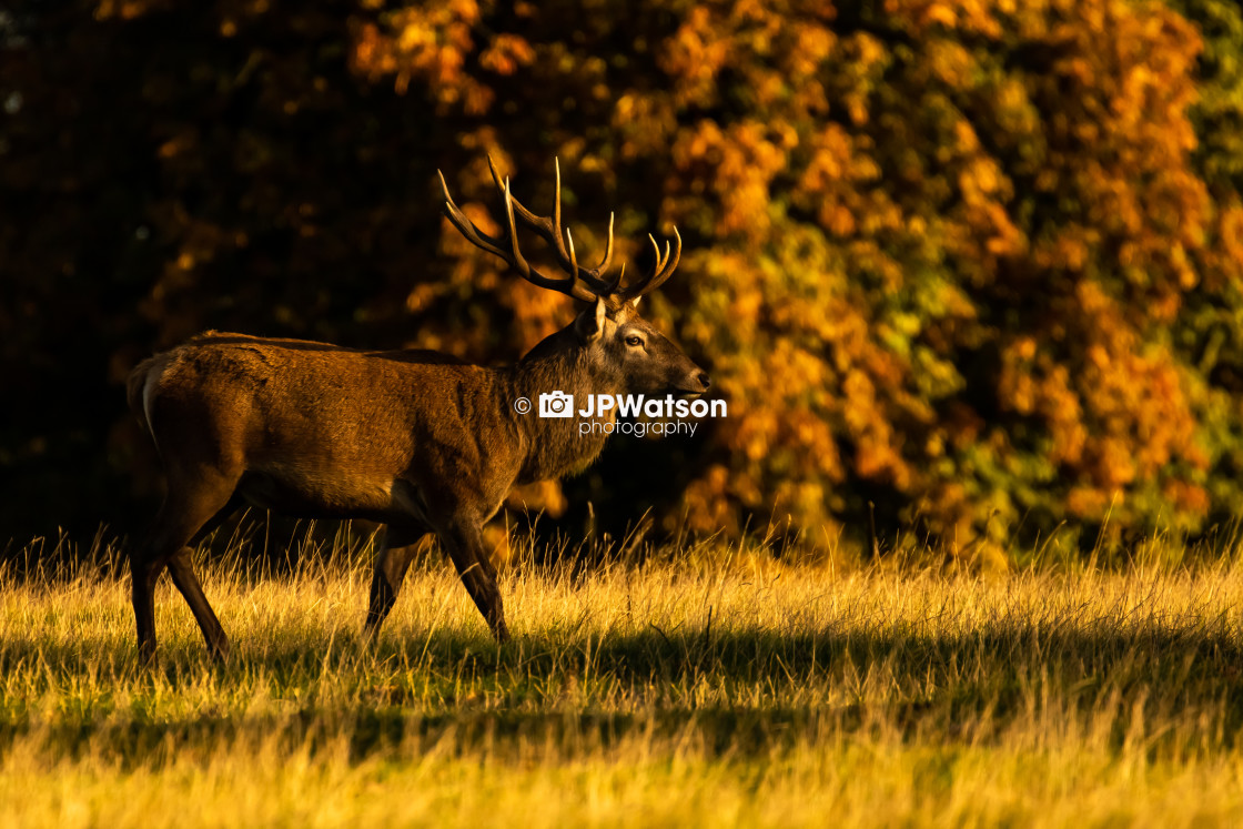 """Autumnal Stag"" stock image"