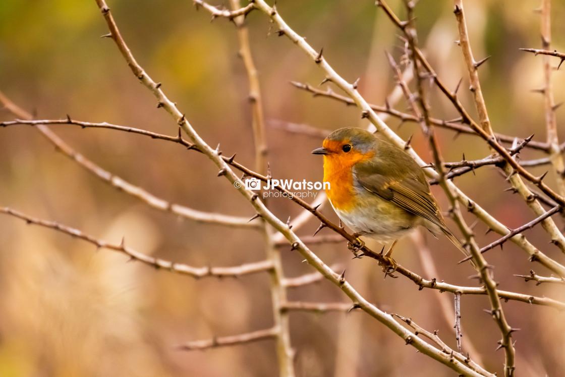 """Robin"" stock image"